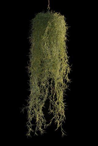 Moss Spanish 75 cm Lt Green